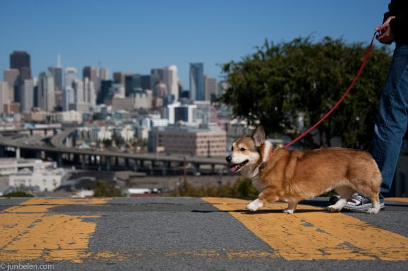 Corgi and the City