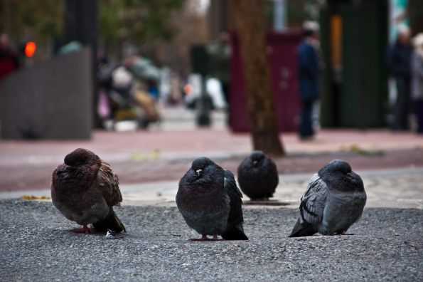 Pigeons and Piloerection: Pigeons Do Get Cold